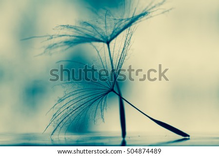 Wet dandelion on white, shiny surface with small droplets of water . single seed of dandelion