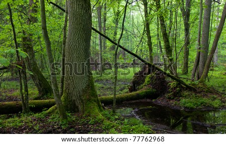 Wet deciduous stand of Bialowieza Forest with standing water in foreground and ash trees moss wrapped in background - stock photo