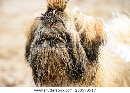 Wet dirty white brown puppy shih tzu in sand - stock photo