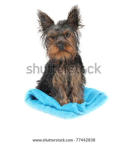 Wet dog on blue towel - stock photo