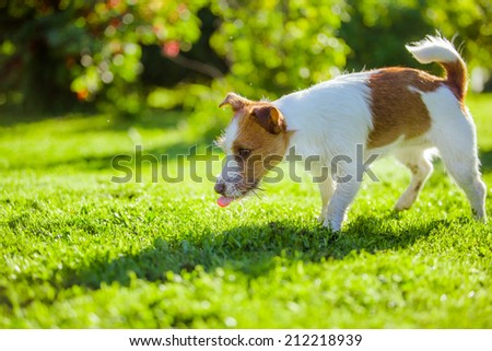 Wet dog shakes and plays, Jack Russell Terrier - stock photo