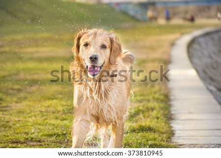 wet golden retriever splashing water everywhere