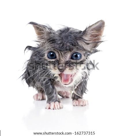 Wet gray kitten meows  - stock photo