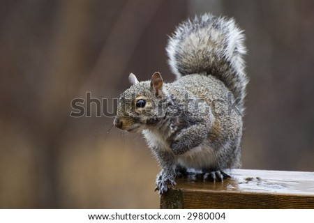 Wet Gray Squirrel sitting on a deck railing - stock photo