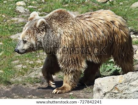 Yeti Stock Images, Royalty-Free Images & Vectors ... Himalayan Brown Bear Yeti