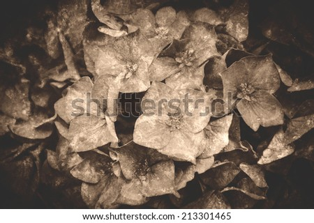 Wet hydrangea flowers with rain drops on the petals. Selective focus. Retro aged photo with scratches. Sepia. - stock photo