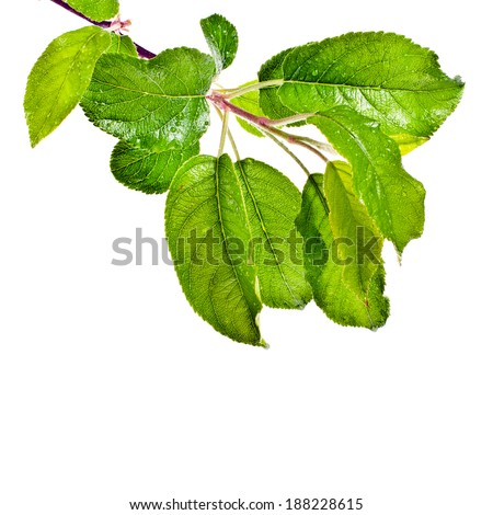 wet juicy fresh bright green leaves  isolated on white background