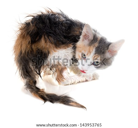 Wet kitten licking - stock photo