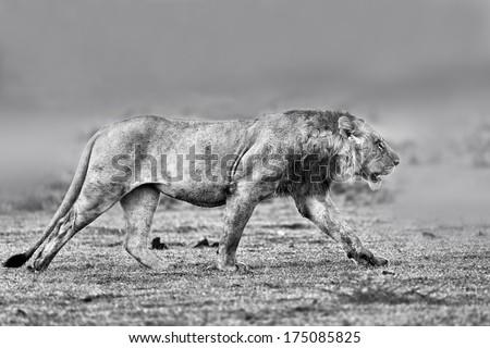 Wet Lion running to his brothers in Masai Mara, Kenya - stock photo