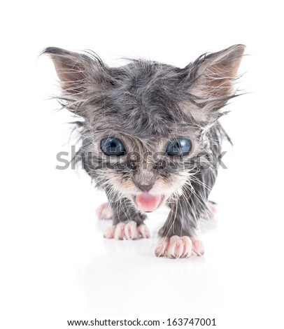 Wet little kitty goes on and meows - stock photo
