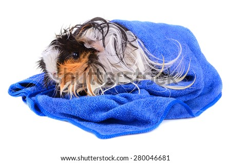 Wet long hair guinea pig in blue towel sitting on a white background - stock photo