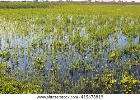 Wet meadow with marsh marigolds - stock photo