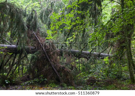 Wet mixed stand in springtime with old broken spruce tree in foreground, Bialowieza Forest, Poland, Europe