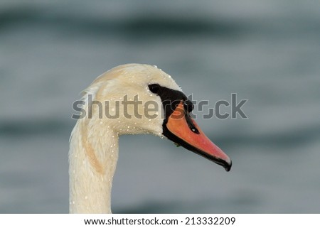 wet mute swan ( Cygnus olor ) portrait - stock photo