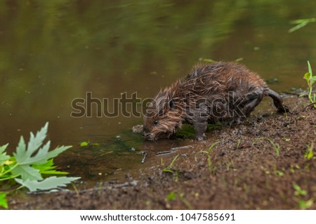 Wet North American Beaver (Castor canadensis) Kit Walks Into Water - captive animal