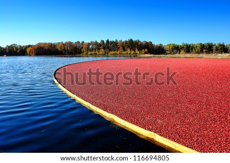 Wet picking boom on flooded agriculture cultivation bog holding fresh ripe and red cranberries ready for harvesting during the cranberry fall harvest in New Jersey - stock photo