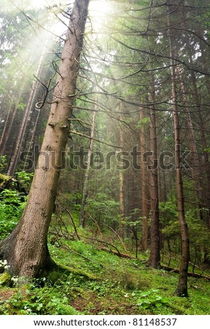 wet pine tree forest in a rays of sun - stock photo