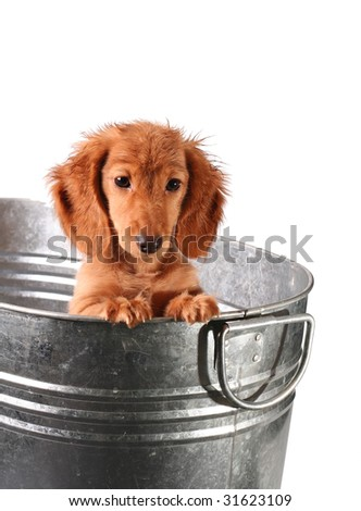 Wet puppy in a stainless steel tub. - stock photo