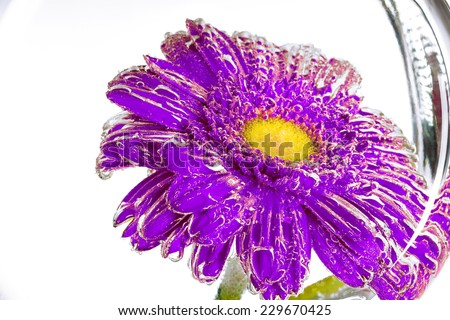 wet purple flower of a gerbera on a white background - stock photo