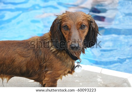Wet Red Long-Haired Dachshund by a Swimming Pool - stock photo