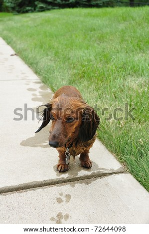 Wet Red Long-Haired Dachshund on a Sidewalk - stock photo