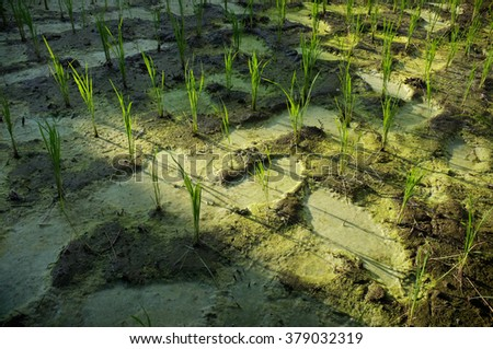Rice Crop Stock Images, Royalty-Free Images & Vectors ...