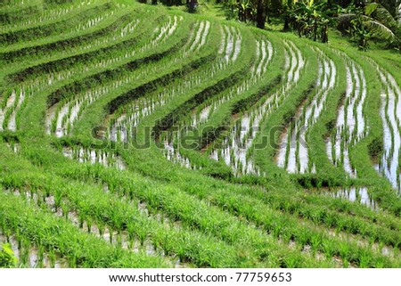 Wet rice field - rice terrace at Bali, Indonesia - stock photo