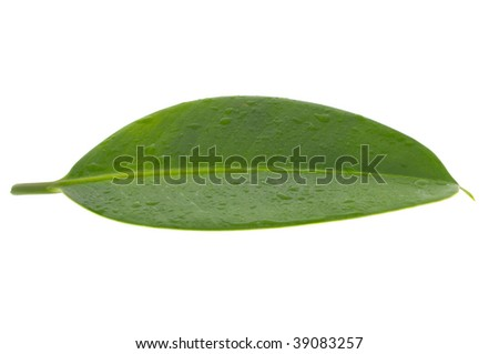 Wet sheet of a ficus elastica  with a drop of water
