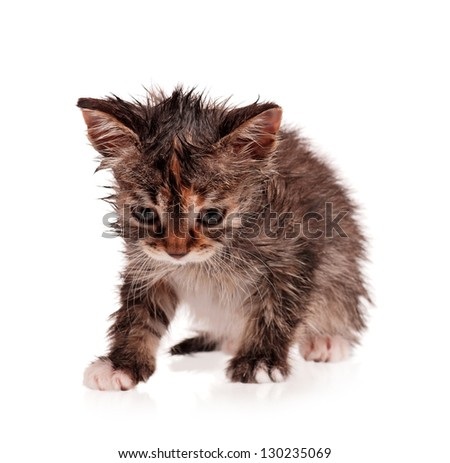 Wet shorthair kitten isolated on white background