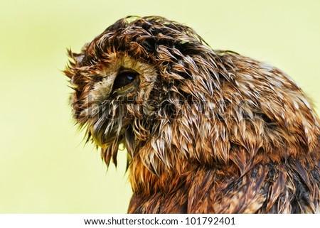 wet Tawny Owl in profile - stock photo
