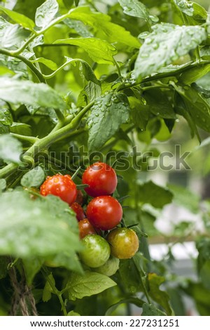 Wet tomatoes growing on the vine - stock photo