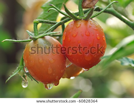 Wet tomatoes on the vine. Drops with a beautiful reflection. Focus on the drops. - stock photo