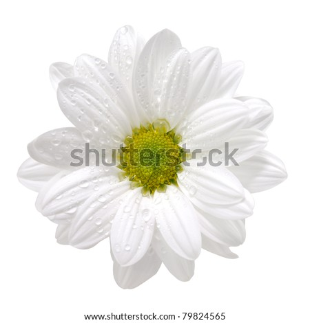 Wet white daisy, isolated on white, with clipping path - stock photo