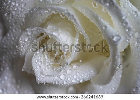 Wet white rose - stock photo