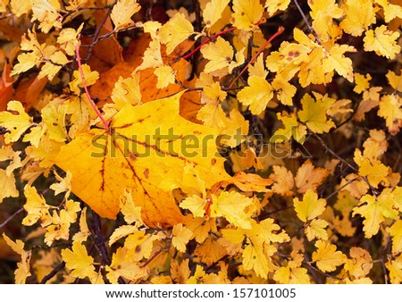 Wet yellow leaves in autumn.