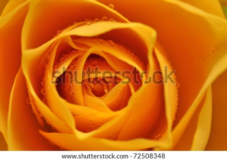 Wet yellow rose detail