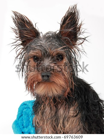Wet Yorkshire terrier with towel, after the bath - stock photo