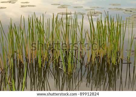 Wetland area with aquatic green plants and shadows - stock photo
