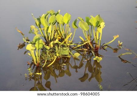 Wetland area with aquatic plants - stock photo