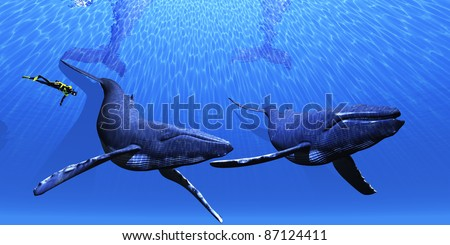 Whale 01 - A scuba diver approaches two Humpback whales in a clear blue ocean.