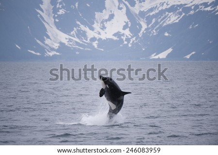 Whale Breaching - stock photo