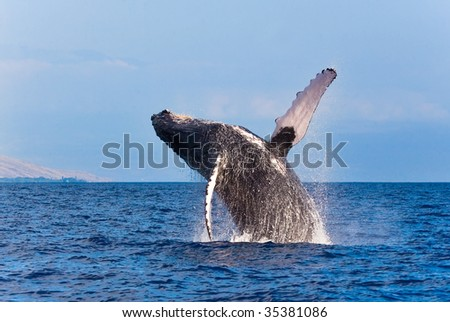 whale breaching out of the water splashing in maui hawaii on whale watch tour - stock photo
