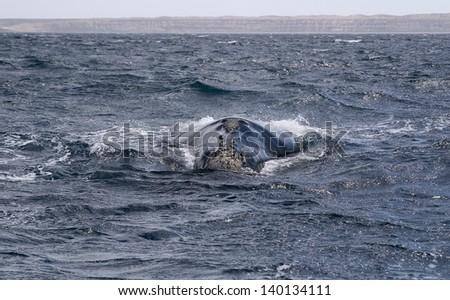 Whale Cetacean Eubalaena Australis Patagonia Argentina - stock photo