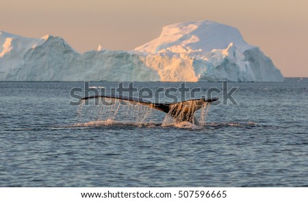 Whale dive near Ilulissat among icebergs. Their source is by the Jakobshavn glacier. The source of icebergs is a global warming and catastrophic thawing of ice, Disko Bay, Greenland