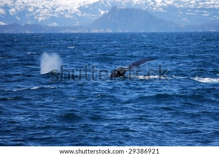 Whale diving in the bay off of Valdez Alaska - stock photo