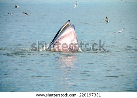 Whale emerges from water for eat fish. - stock photo