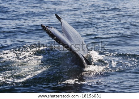 Whale fin in close up - stock photo