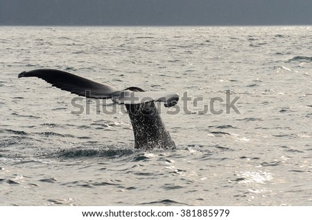 Whale going under water with tail in Iceland - stock photo