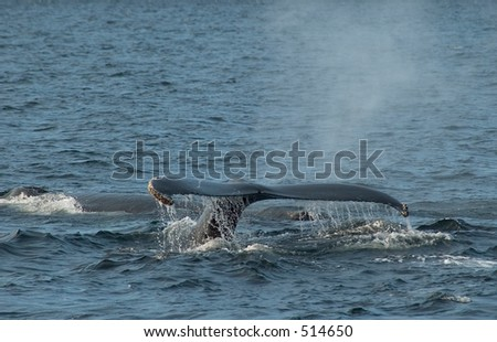 whale in action 1 - stock photo