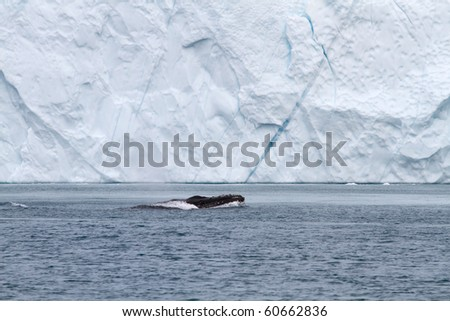 Whale in front of an iceberg in the famous icefjord of Ilulissat, Greenland. The icefjord is on UNESCO's World Heritage List. - stock photo